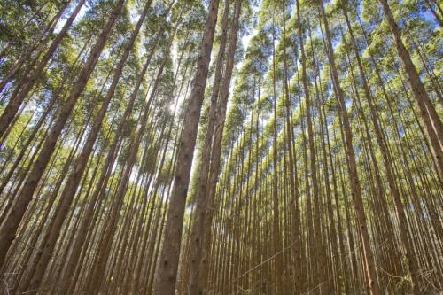 Futuragene And Guangxi Develop Eucalyptus Biofuel Process